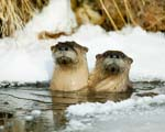 Playful River Otters in Yellowstones Lamar River Valley Montana and Wyoming