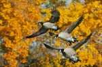Canada_Goose_Hunting_Decoy_Stock_Photography_Agency